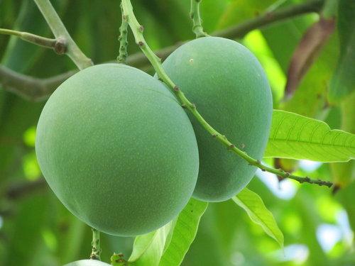 [Image: Mango-green-dpy29rjtl8kw-t.jpg]