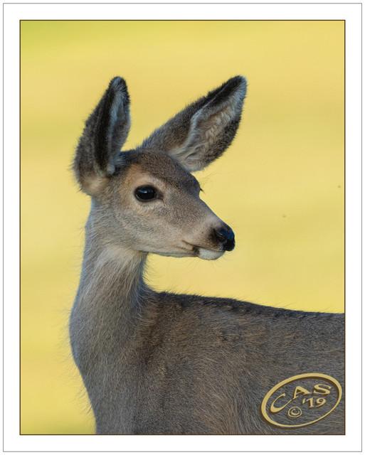 mule-deer-CAS08932