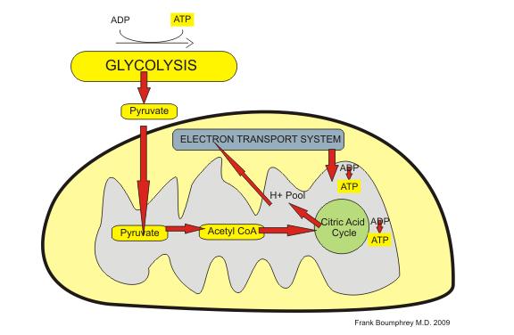 mitochondria-process.png