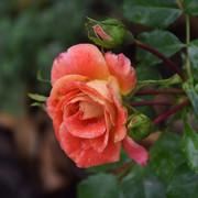 roze26