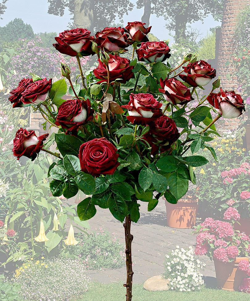 Двухцветная роза Osiria в фотографиях