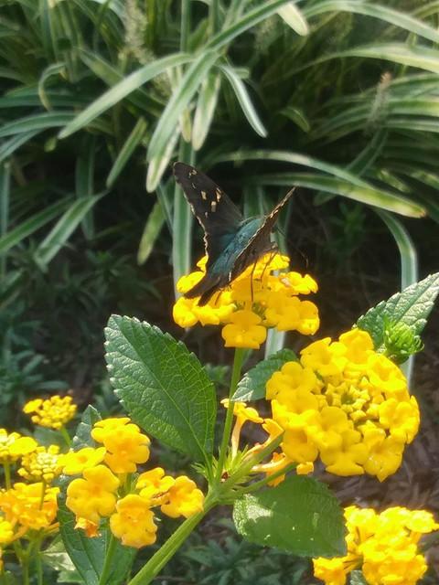 garden-mystery-lepidoptera-1-5-2019