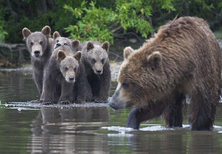 Невероятные фотографии медведей 26