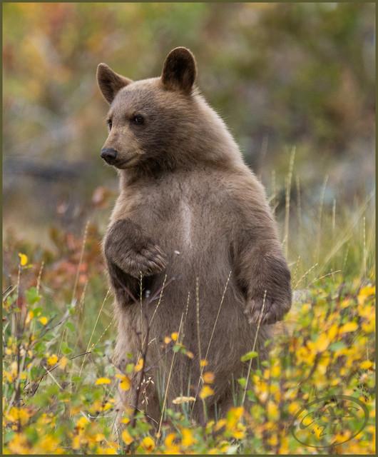 black-bear-PSEM-CAS05703.jpg