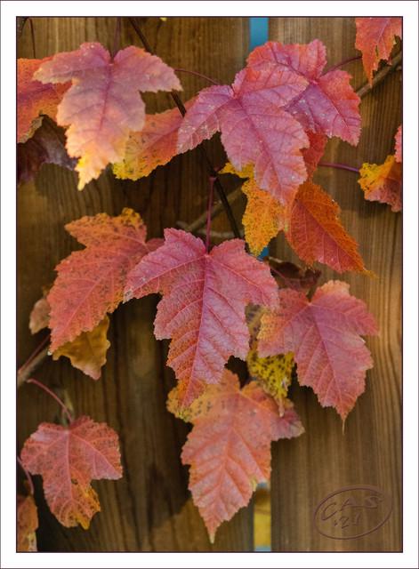 amur-leaves-BB-CAS08915.jpg