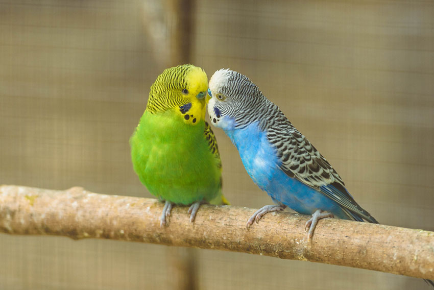 How to make your parakeet not bored?