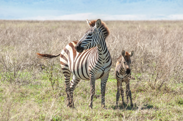 A-Zebra-standing-next-to-her-foal-in-the-grasslands-of-the-Ngorongoro-Crater-in-Tanzania