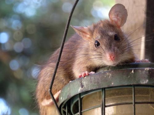An image of a rat.