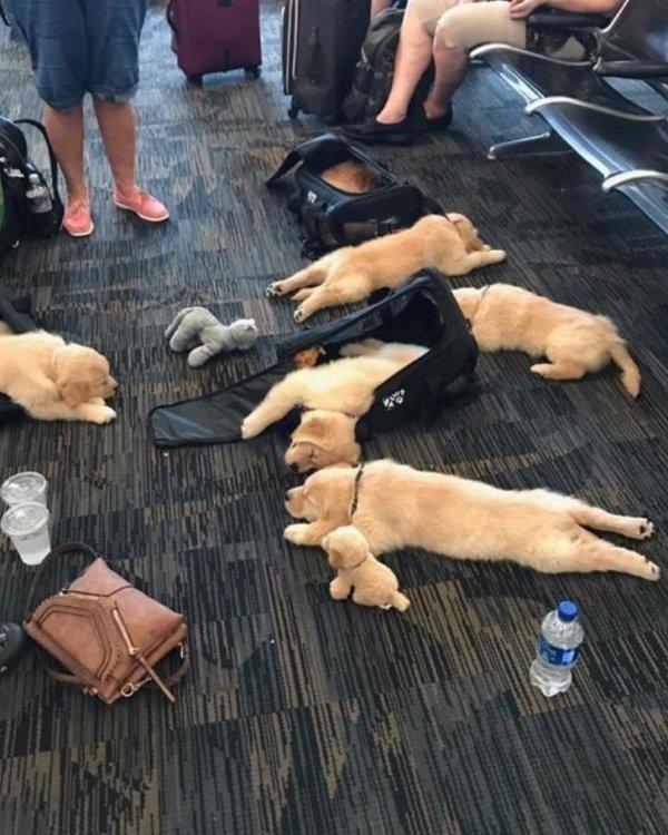 Собаки спят в аэропорту