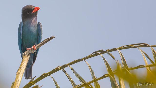 Oriental-Dollarbird-Thattekkadu