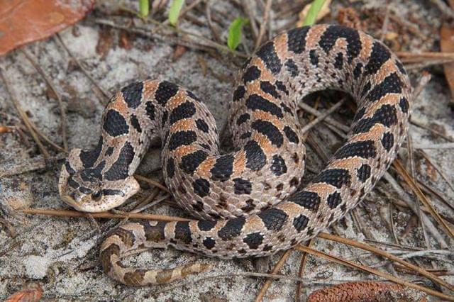 southern-hognose-snake-flat-head