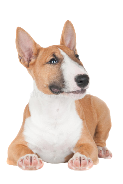red-english-bull-terrier-puppy-adorable-miniature-33100853-removebg-preview.png