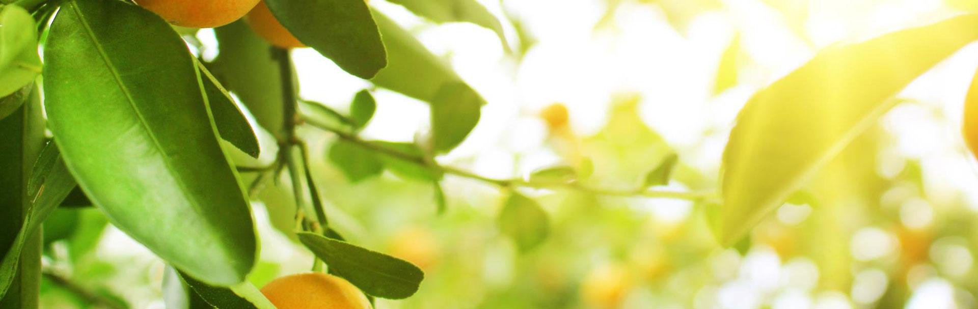 Banner-mango-tree