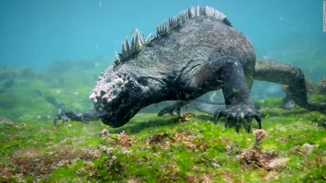 160412123428-marine-iguana-1-super-169
