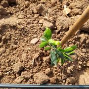 Anomalías en mi plantación (Badajoz) Olivo-3