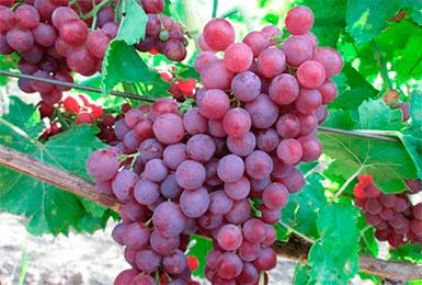 vinograd-pamyati-uchitelya