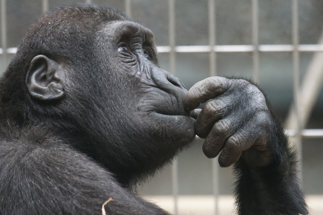 view-ape-thinking-primate-33535