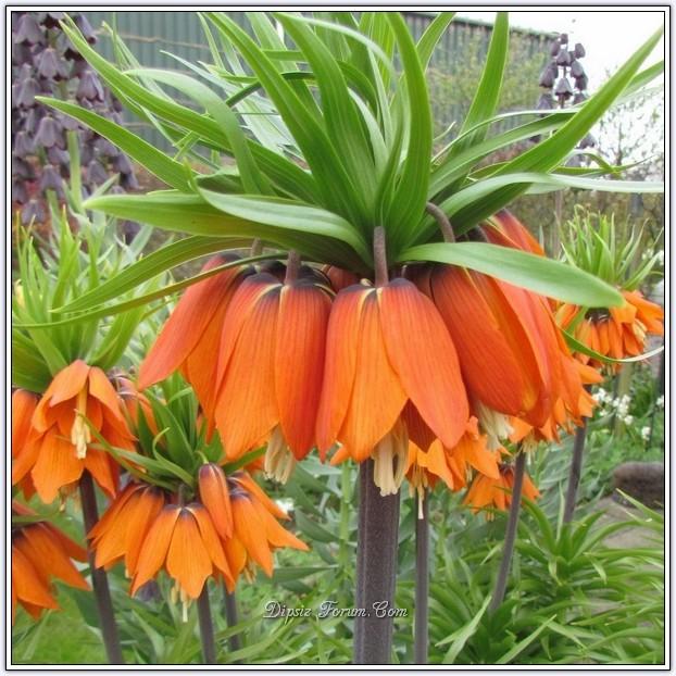 fritillaria-imperialis-aurora-orange.jpg