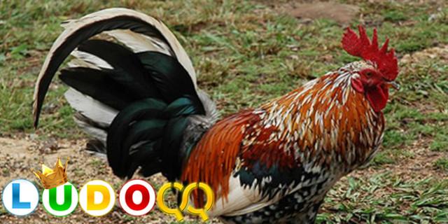 Ayam Jantan di Prancis ke Pengadilan karena Berkokok Terlalu Keras