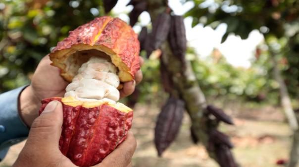 proyectan-planta-para-industrializar-el-cacao-en-tocache