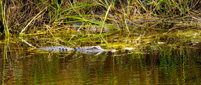 His-Majesty-Florida-Gator-in-my-pond-2