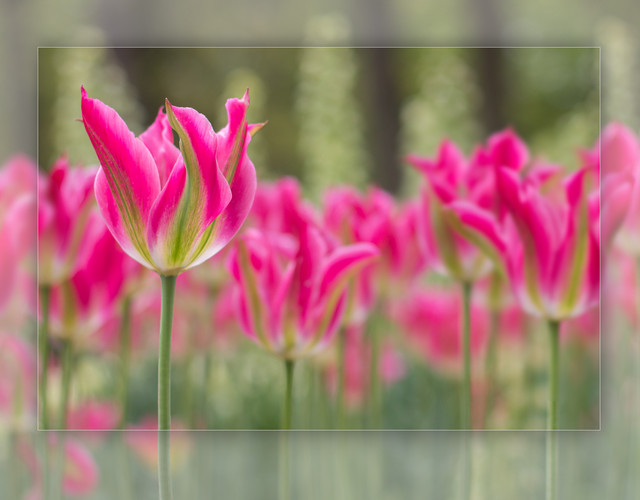 Pink-Tulip-against-blurred-background-freamed-MG-2719
