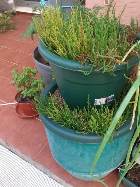 [Imagen: salicornia.jpg]
