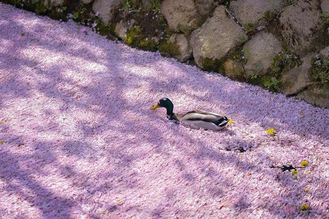 櫻花花筏中的鴨子 Image
