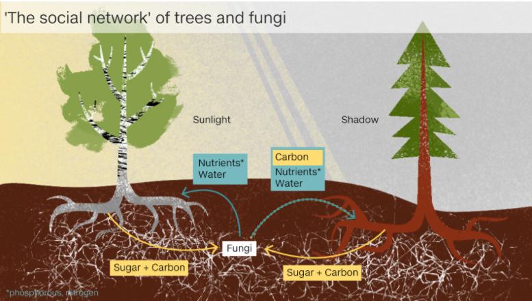 На корнях растений живут грибы-симбионты, получающие сахара в обмен на фосфор и иные услуги – в том числе, доставку питательных веществ от корней соседних деревьев / ©AlbertonRecord.co.za