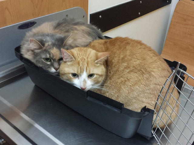 funny-cat-at-the-vet-10