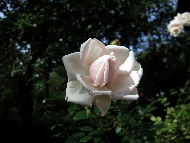 rose-cream-01