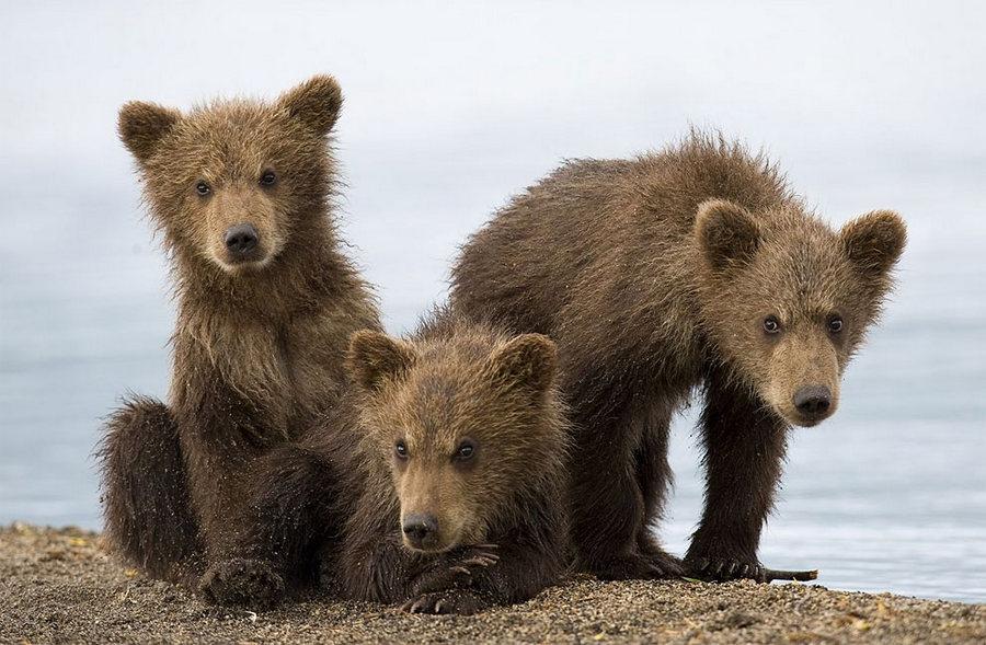 Невероятные фотографии медведей 14