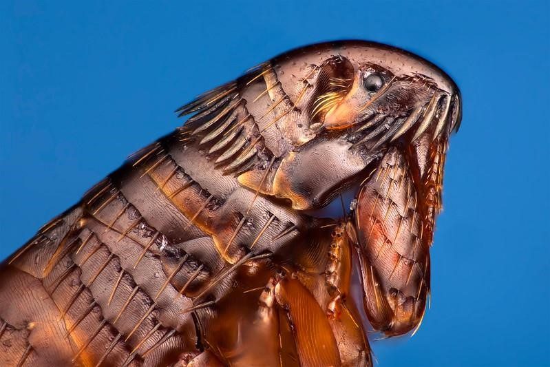 Handling a Flea Infestation, Yourself