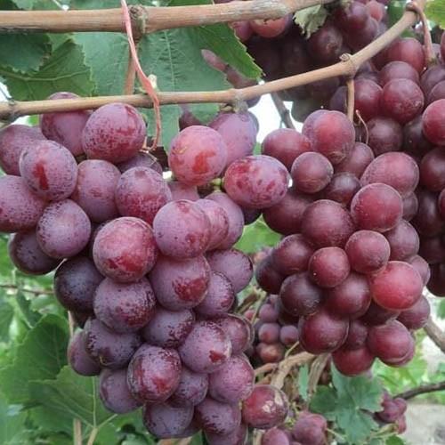 vinograd-red-globe
