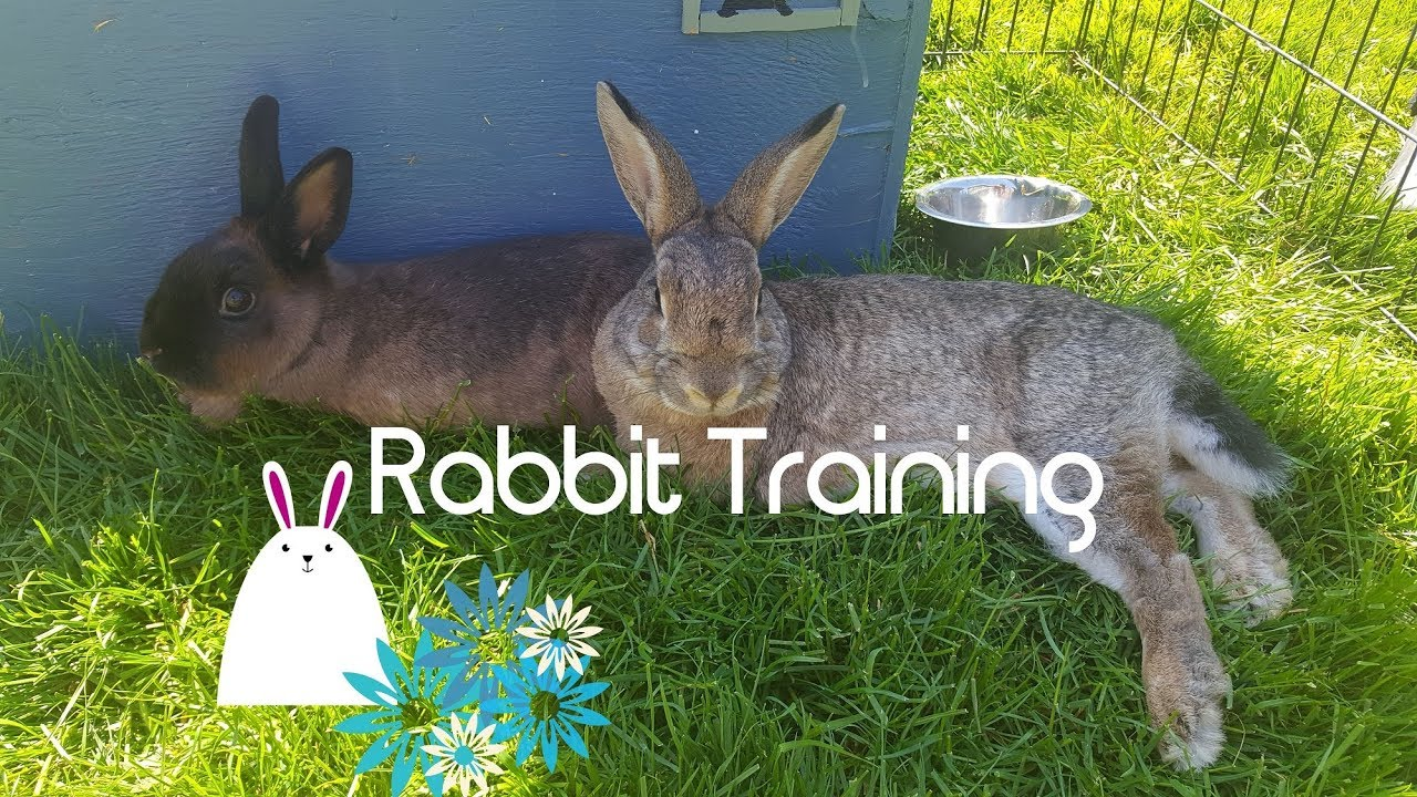 Can you train a rabbit?
