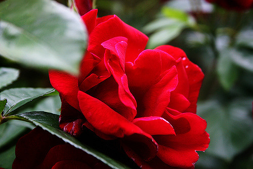 An image of a beautiful red rose. These roses were said to be created when Cupid knocked a bowl of wine over a white rose bush.