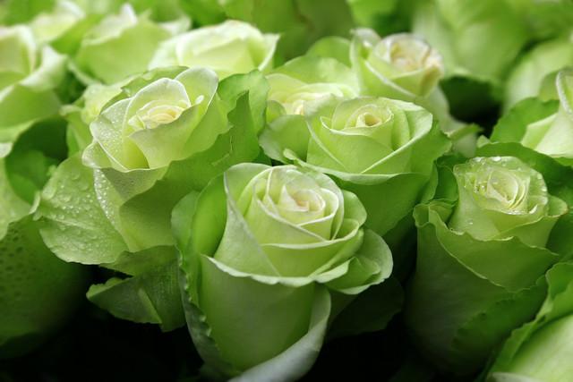 rozy-butony-zelenyi-ekzotika.jpg