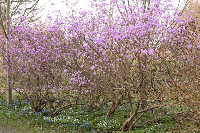 14-Rhododendron-mucronulatum-DSC-5013
