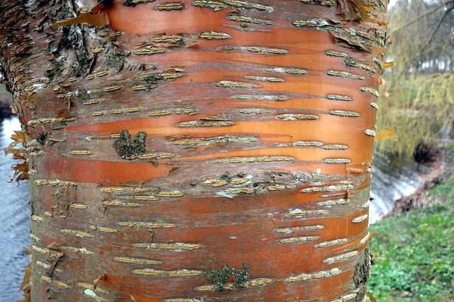 Bild-3-Prunus-maackii-Honey-2
