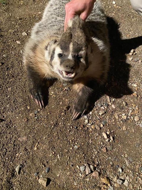 Badger-Bob