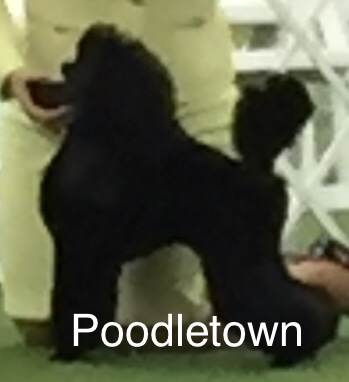 Poodletown Its Magical