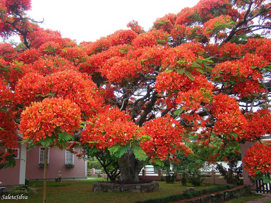 Яркое дерево, Бразилия-15