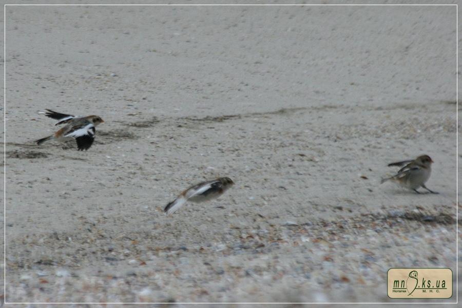 Пуночка (Plectrophenax nivalis) на острові Тендра, Чорноморський біосферний заповідник
