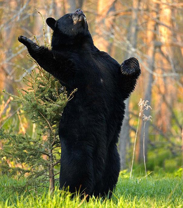 Медведи, такие медведи-34