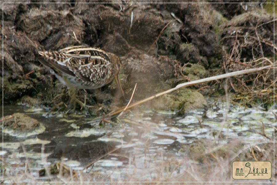 Бекас (Gallinago gallinago) в Чорноморському біосферному заповіднику