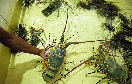 Hasil Panen Lobster Air Tawar Mulai Menurun