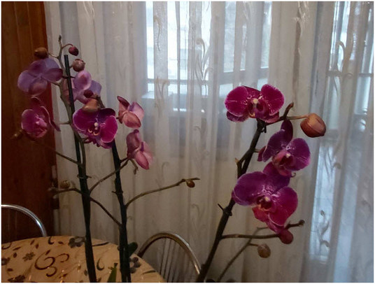 moja-orhideja