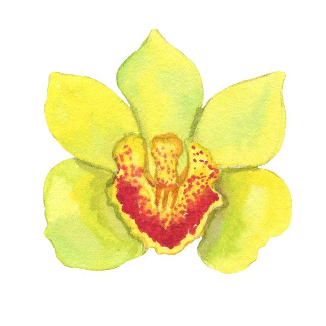 Yellow-orchid.png