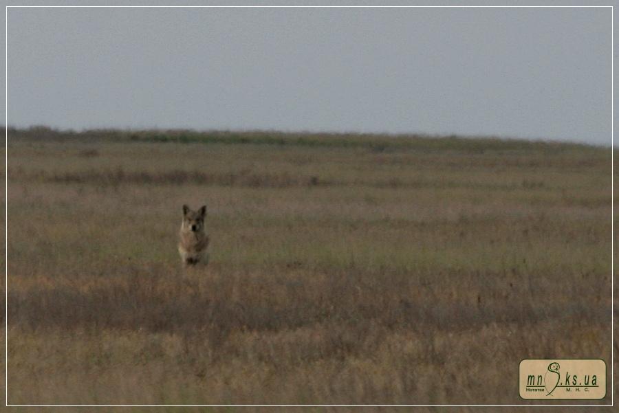 Вовки в степу