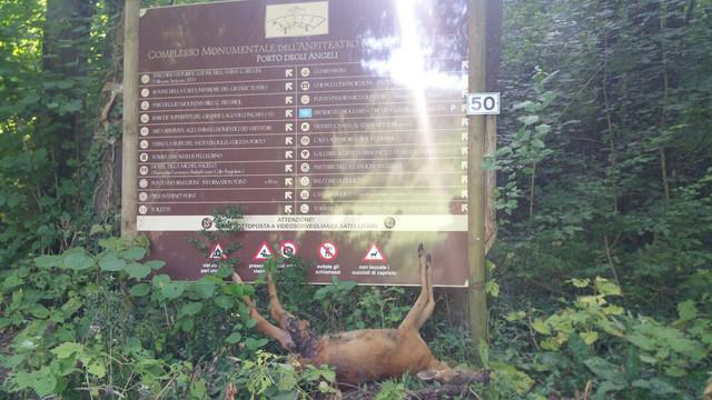 cerbiatto-ucciso-sotto-segnaletica-apa